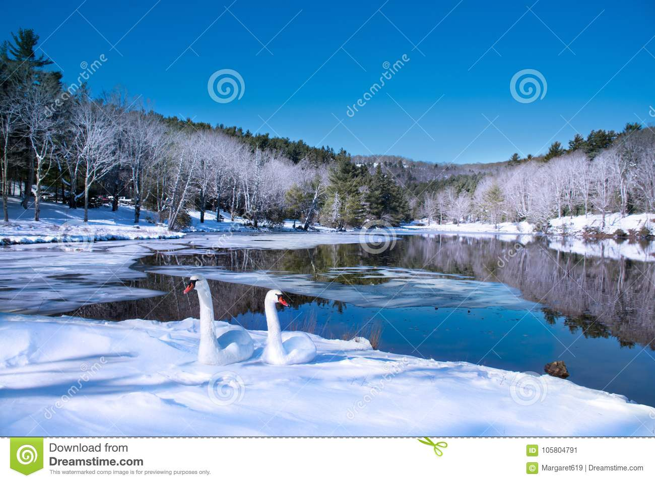 Beautiful swans relaxing on the snow by the lake in frosted forest.