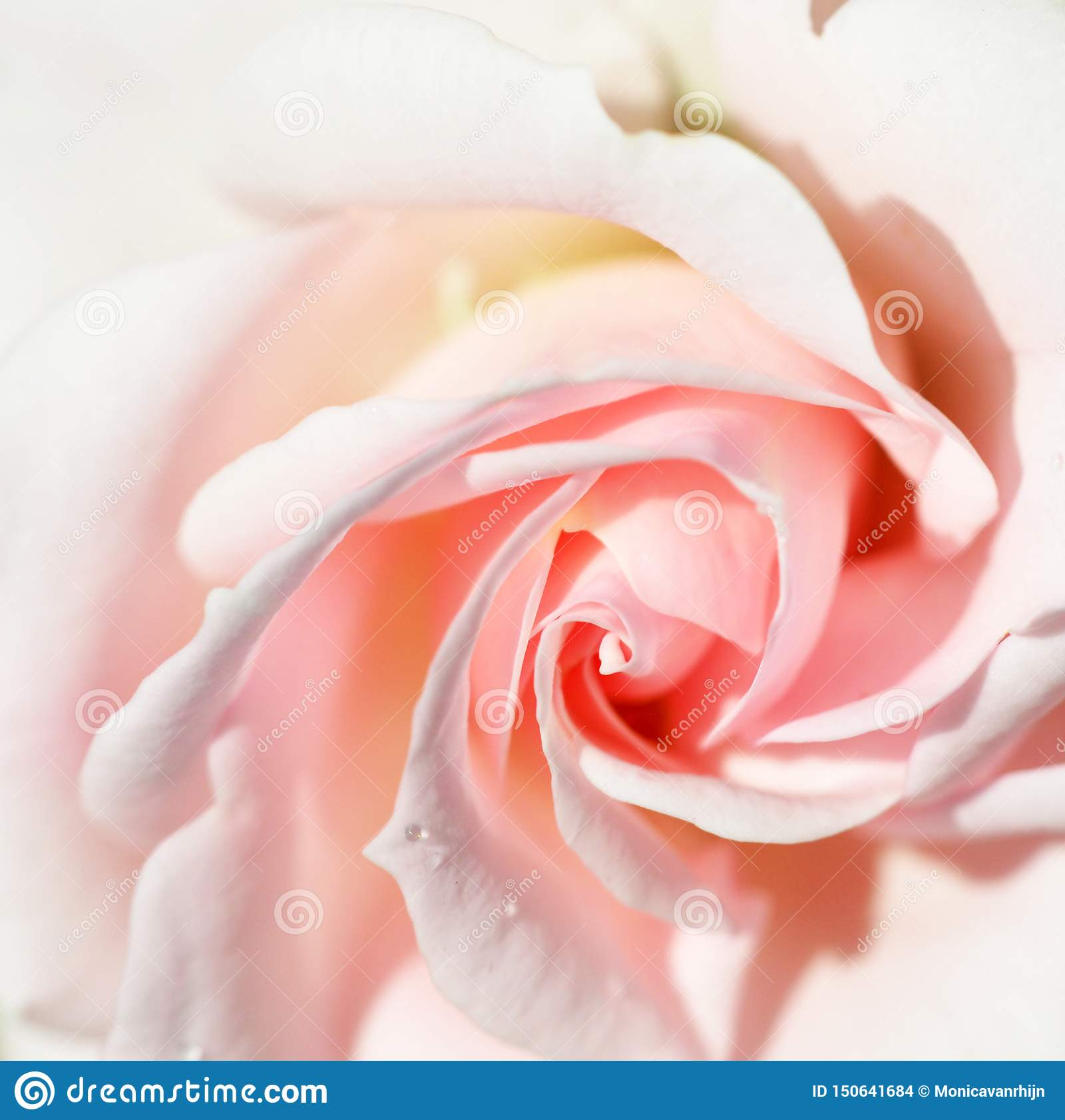 Beautiful soft pink rose with a drop of water