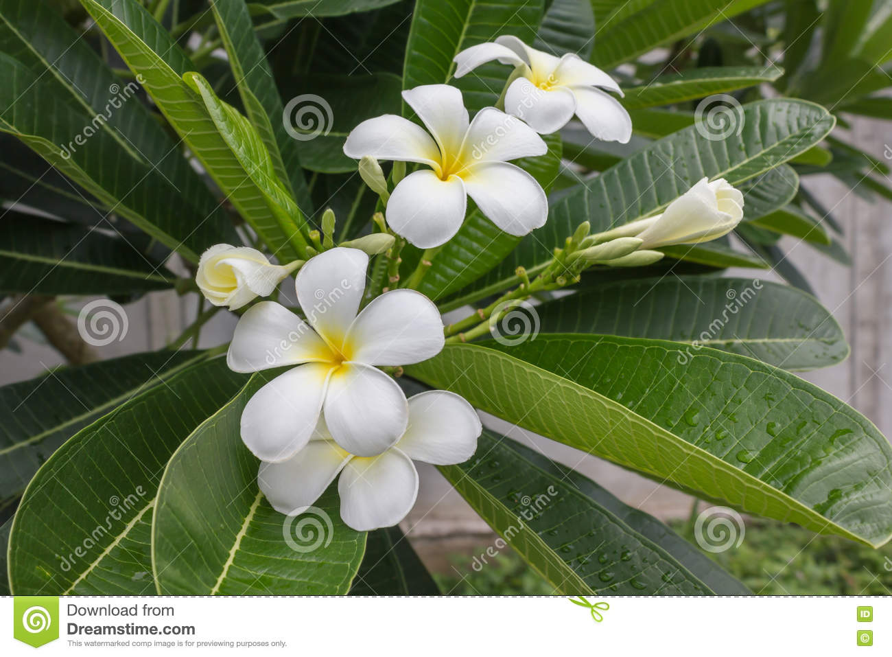 pink-plumeria-bunch - Hawaii Pictures |Plumeria Bunches
