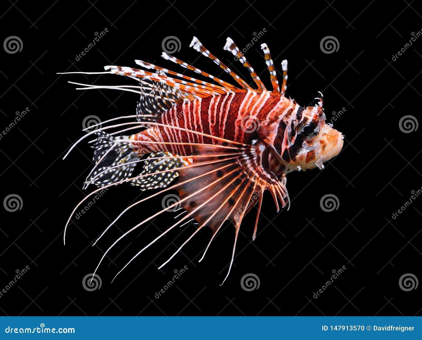 Beautiful swimming Lionfish isolated on black background