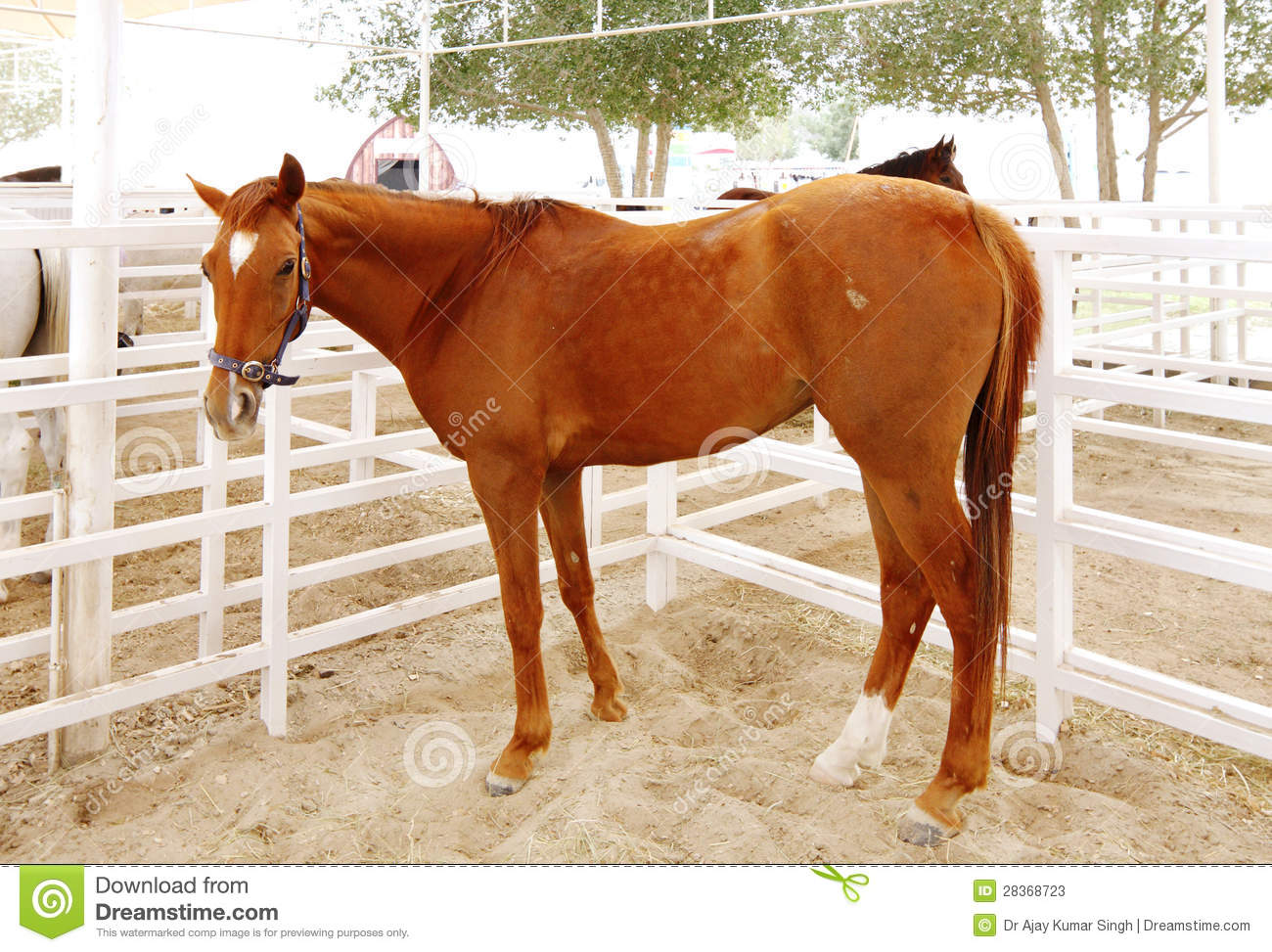 A Beautiful Tall Brown Arabian Horse Stock Image Image Of Breeds Perissodactyla 28368723