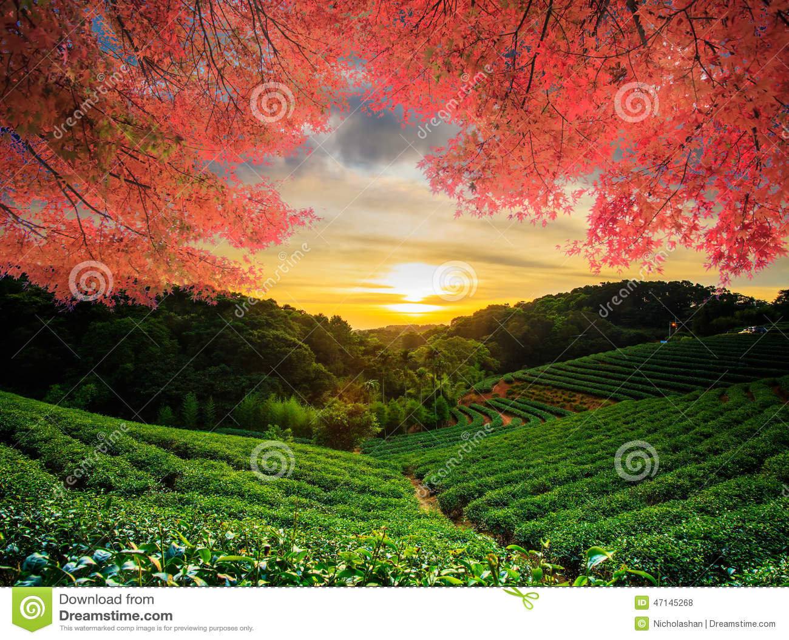 Beautiful tea garden w nice maple