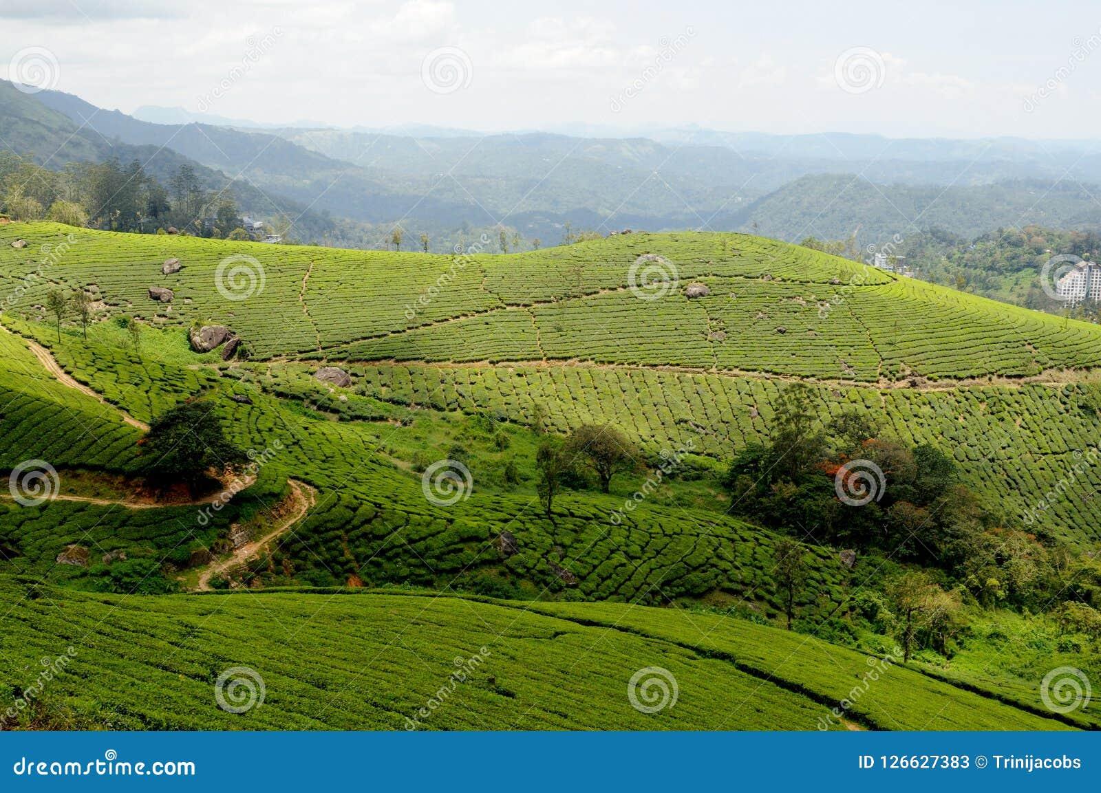 Pullivasal Tea Estate In Munnar, Kerala State, India Stock ...