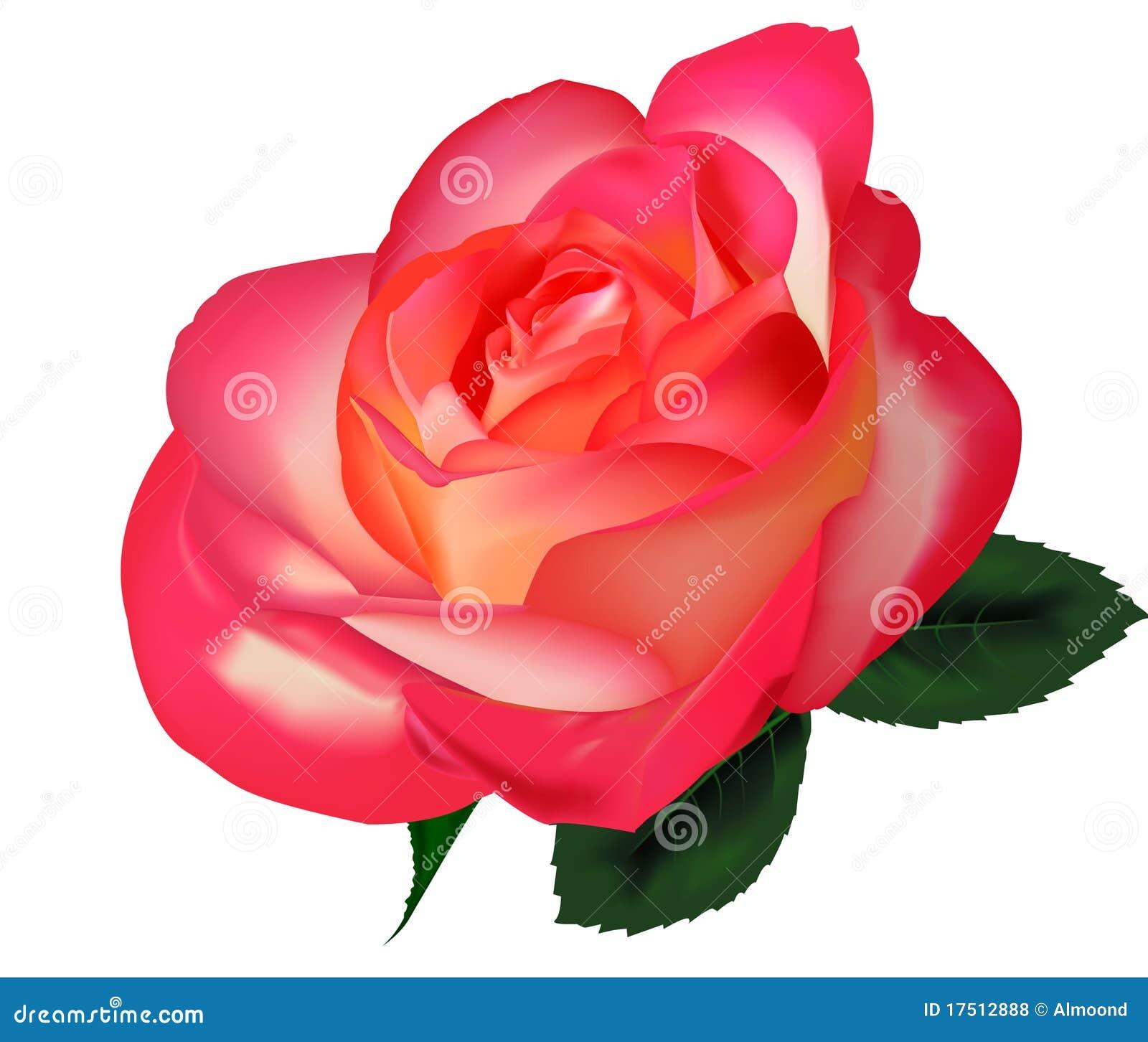 Beautiful Tea Rose On A White Background. Vector. Stock Illustration - Illustration of ...