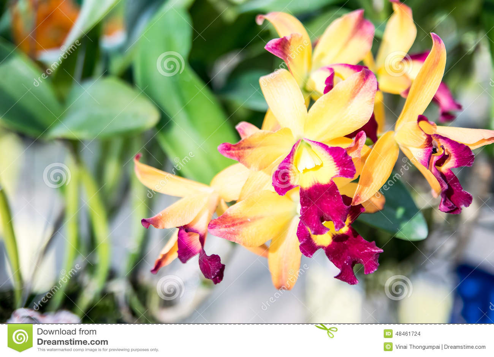 thai orchid oslo sukker