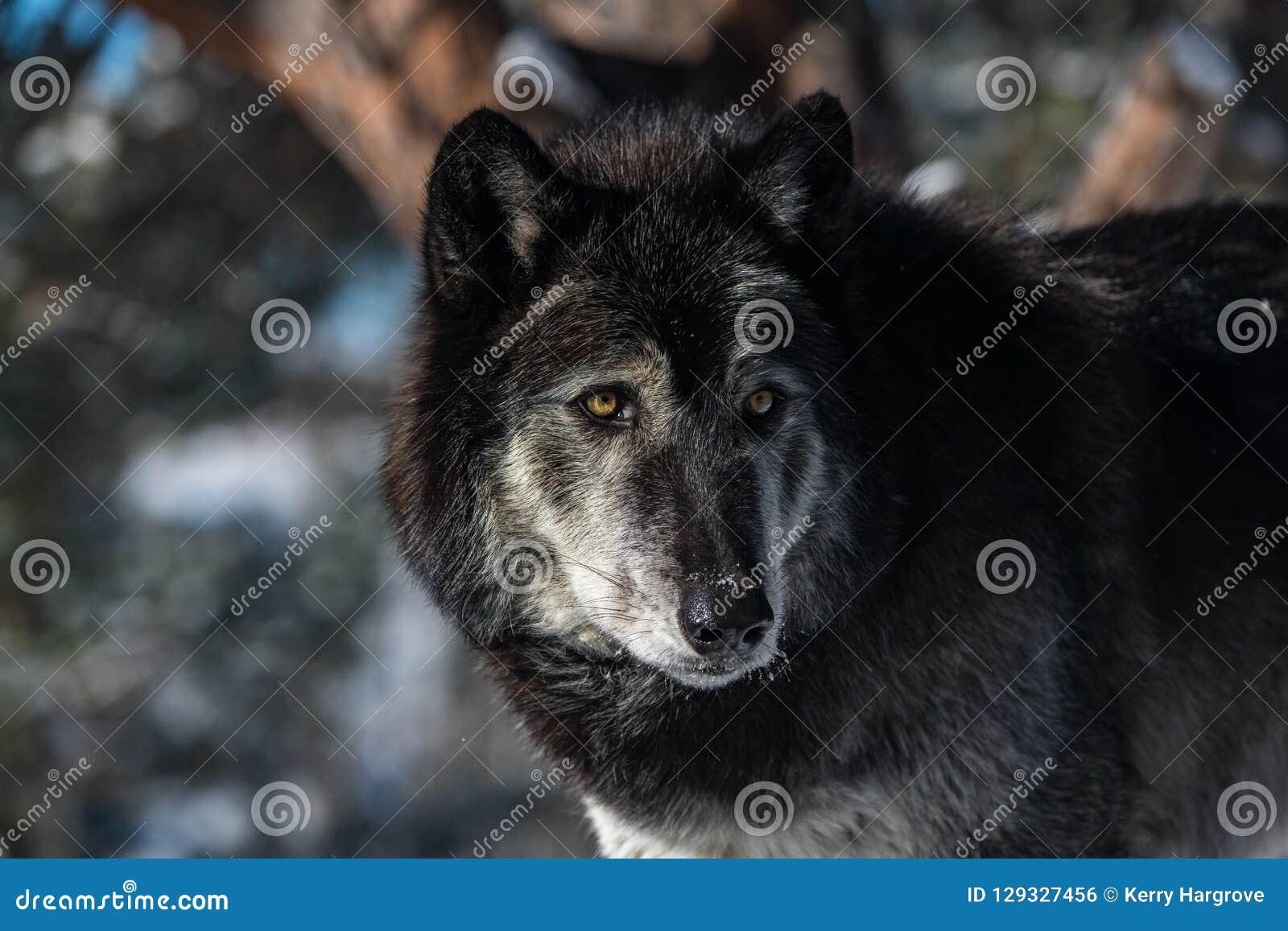 A Timber Wolf`s Gaze