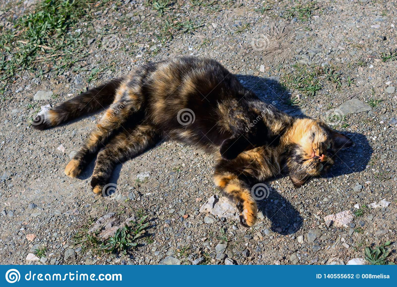 Beautiful tortoiseshell cat, pregnant, with a big belly, lying on the ground.