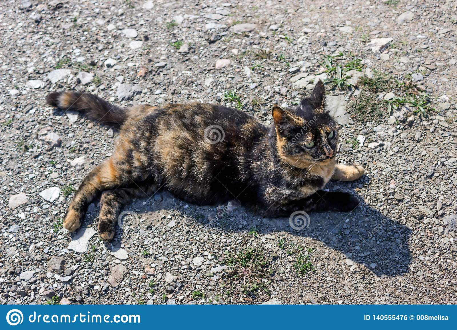 Beautiful tortoiseshell cat, pregnant, with a big belly, lying on the ground. Concept- sterilization of animals, care for Pets.