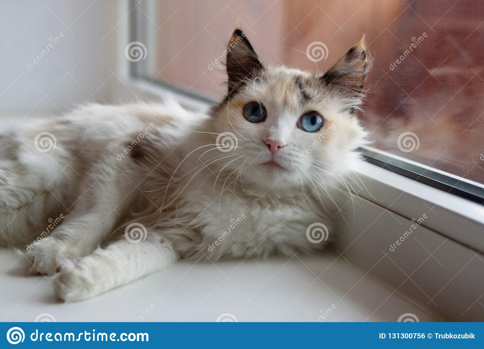 Beautiful tortoiseshell fluffy cat with blue eyes lying near to a window