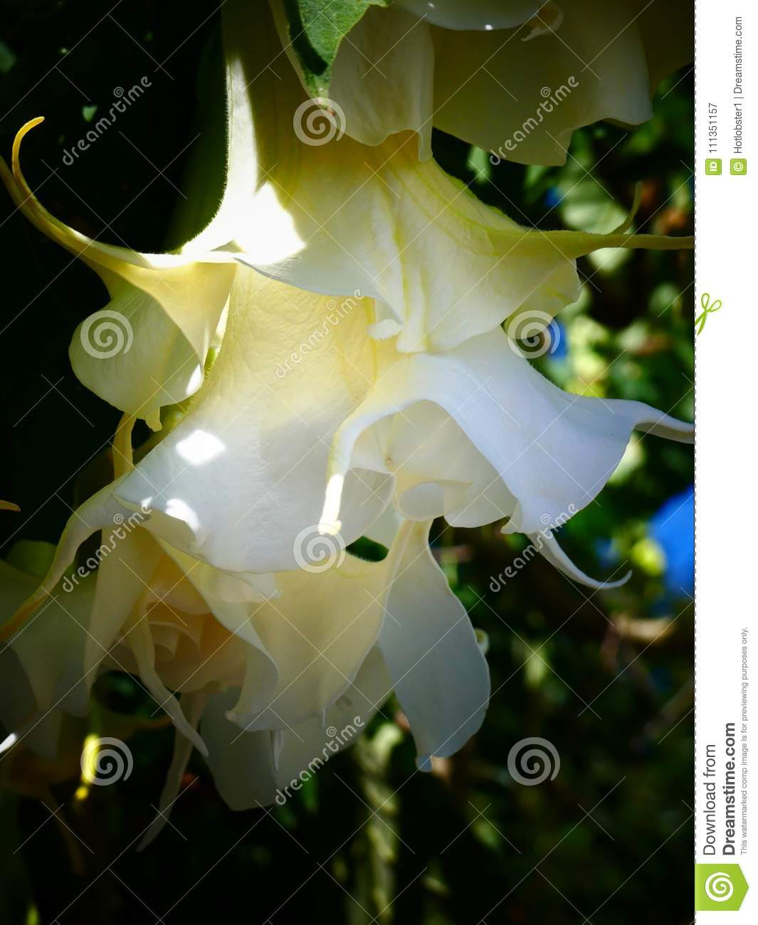 Beautiful Toxic White And Cream Datura Flowers Stock Image Image