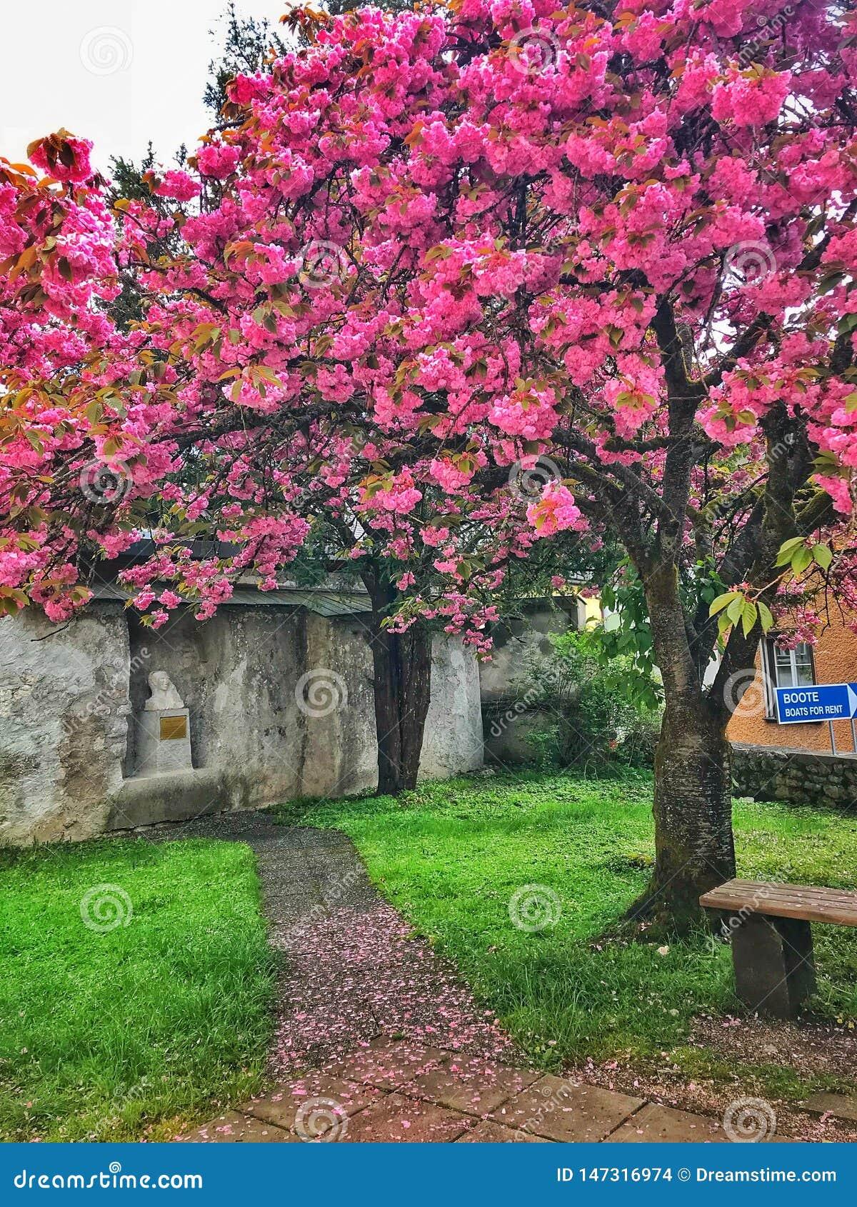 The beautiful pink tree,green grass in amazing Austria