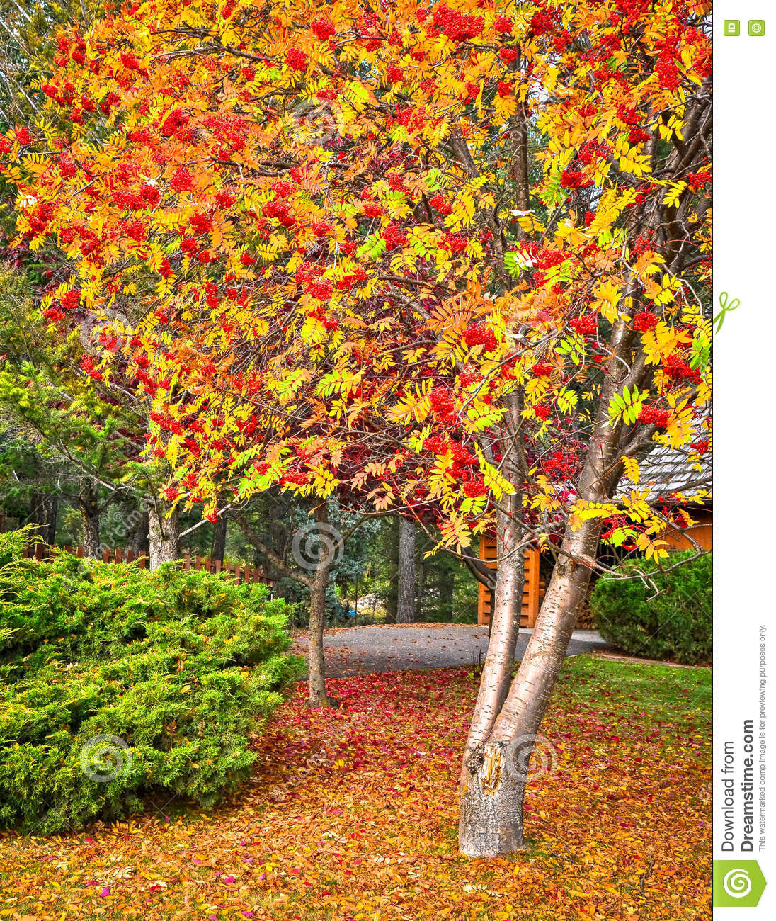 Beautiful Tree With Berries In Fall Stock Image Image Of