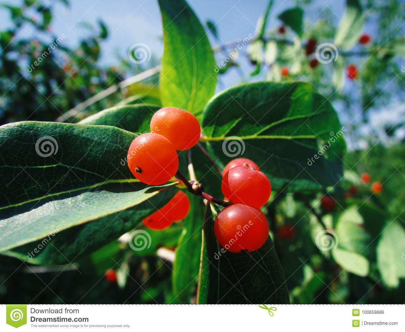 Tree With Small Red Berries Stock Photo Image Of Bean Fresh