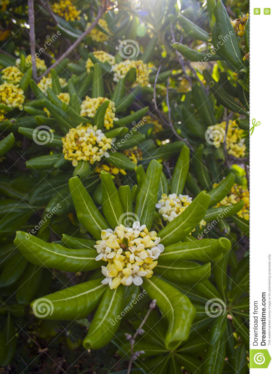 Beautiful Tree With White Yllow Flowers And Big Leaves Stock Image