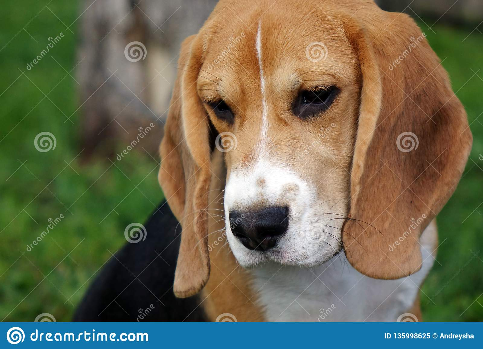 Beautiful Tri Color Beagle Puppy English Sitting On The Green Grass Beagle Is A Breed Of Small Hounds Stock Image Image Of Pedigreed Hound 135998625