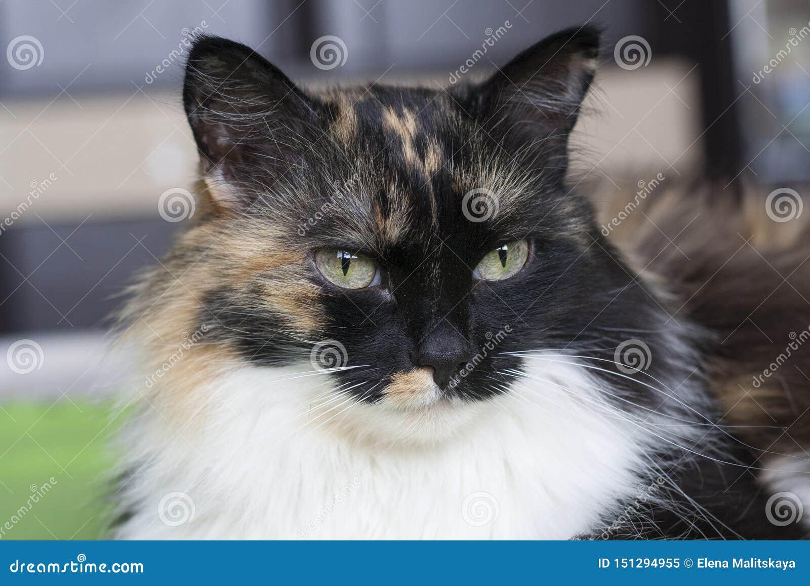 Beautiful tricolor cat, white mustache. Portrait