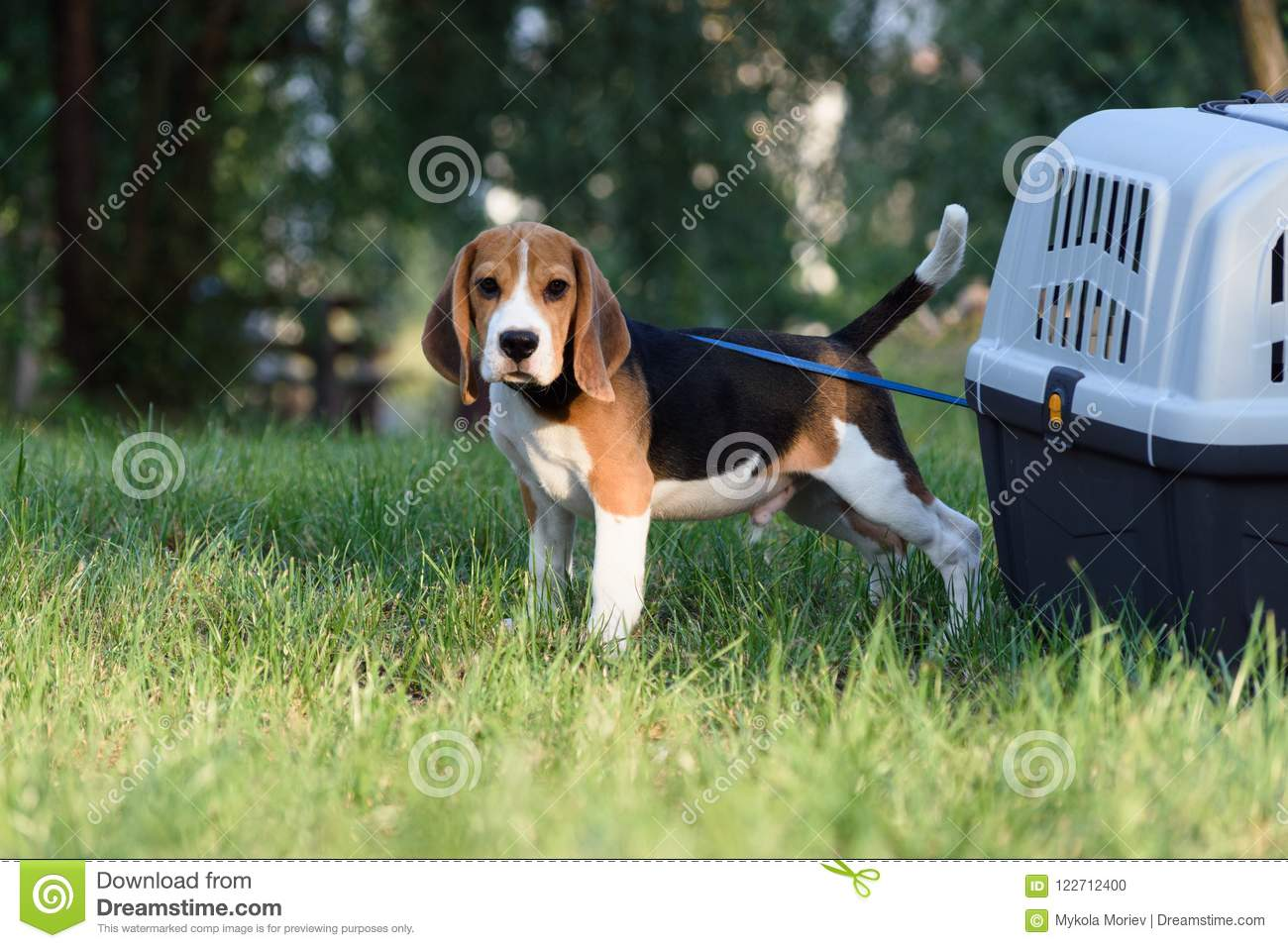 Beautiful Tricolor Puppy Of English Beagle stay near his travel box on a green Green Grass.