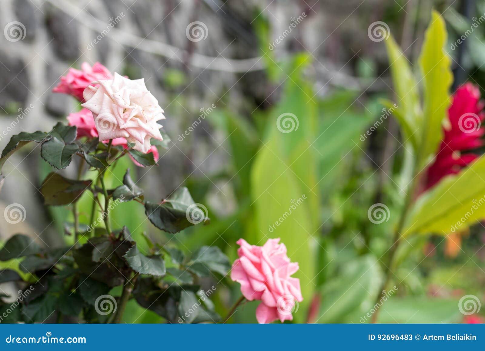 Beautiful tropical flower background on bali island indonesia download beautiful tropical flower background on bali island indonesia close up of flowers izmirmasajfo