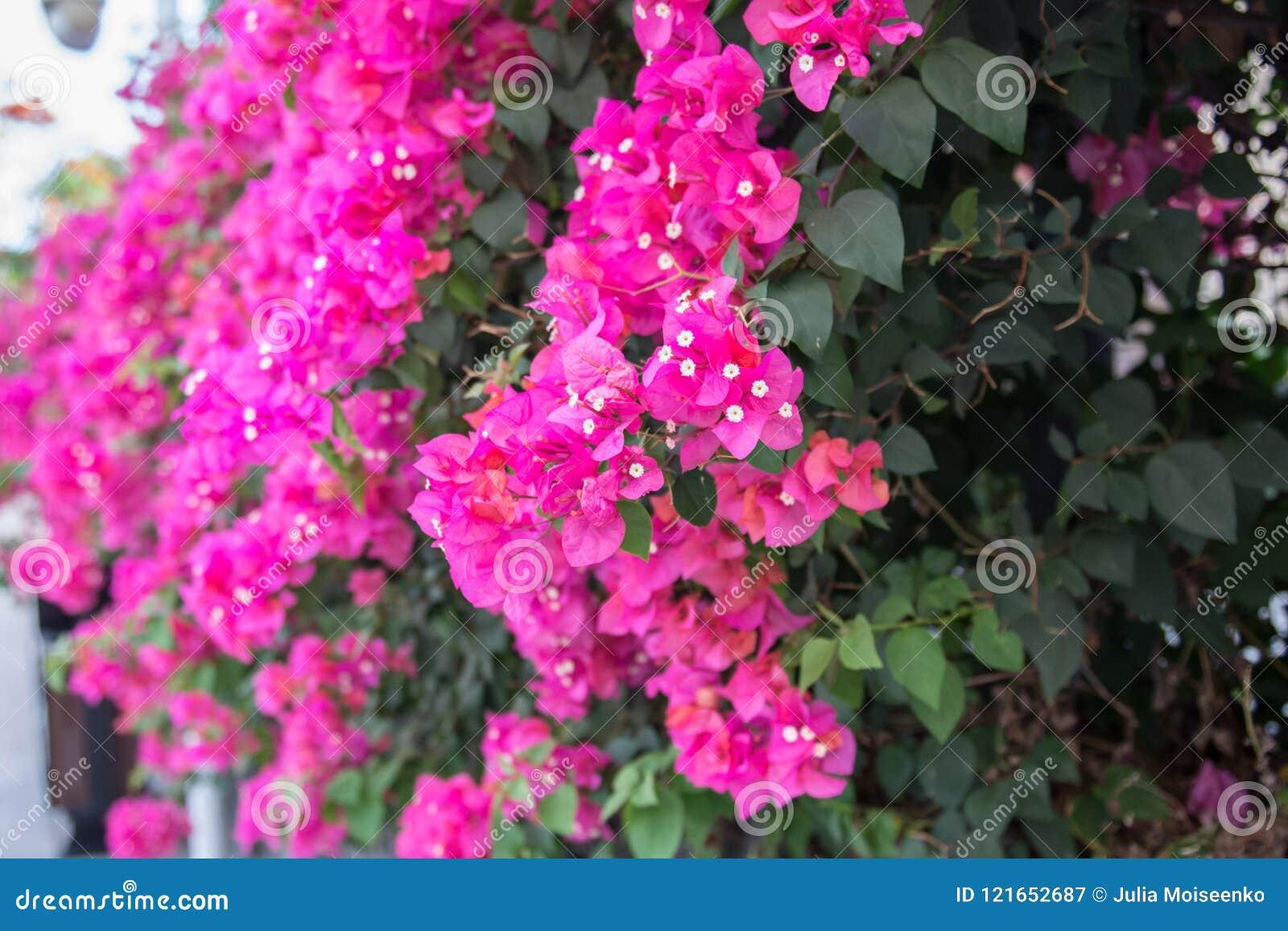 Beautiful tropical flowers the bush strizhennom ratut many bright download beautiful tropical flowers the bush strizhennom ratut many bright juicy colors in hot izmirmasajfo