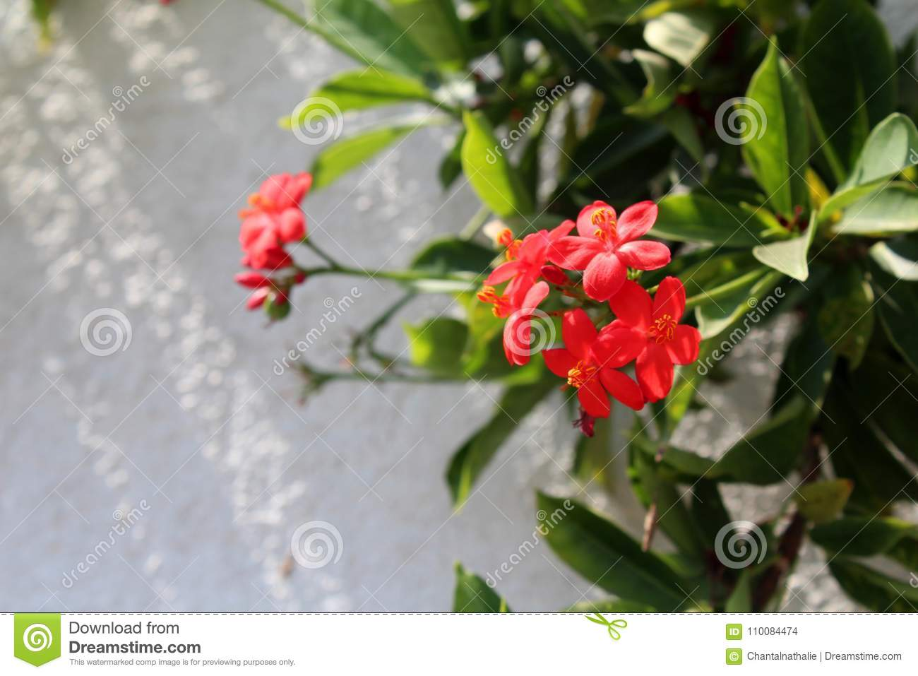 Beautiful tropical flowers stock photo image of backdrop 110084474 beautiful ixora flowers growing in the garden on sunny day natural floral background tropical exotic flowers izmirmasajfo