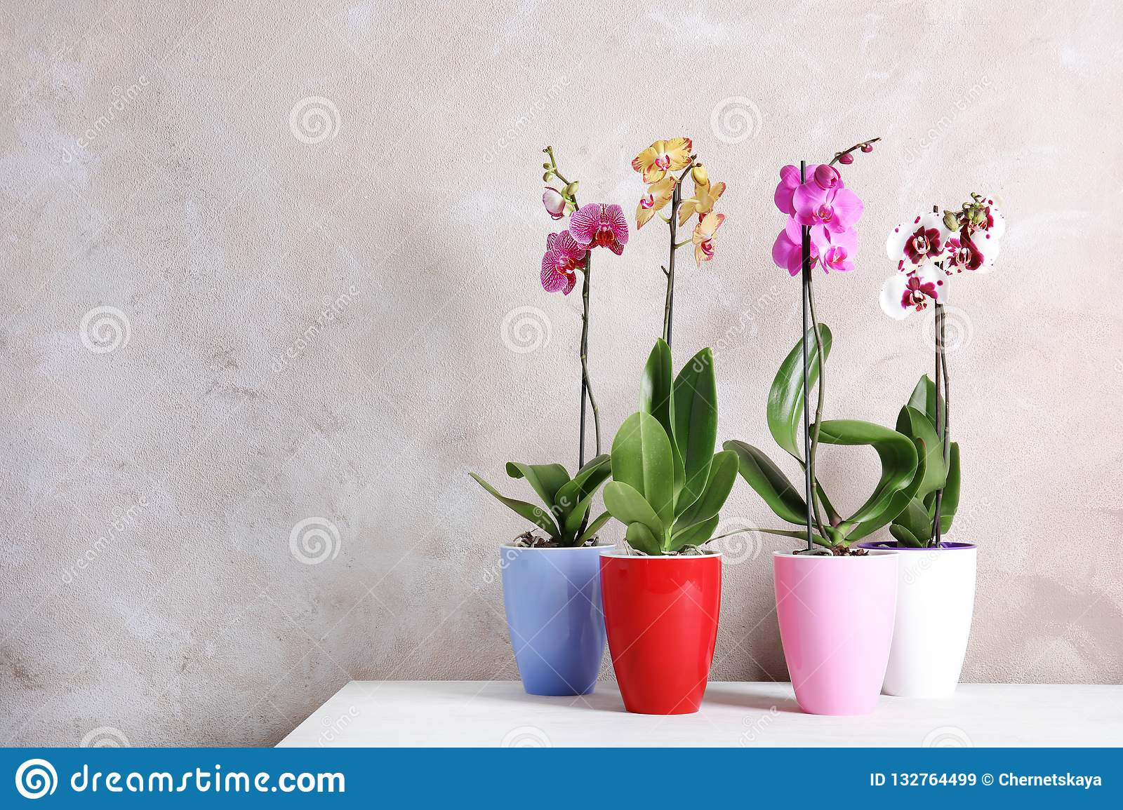 Beautiful tropical orchid flowers in pots on table near color wall.