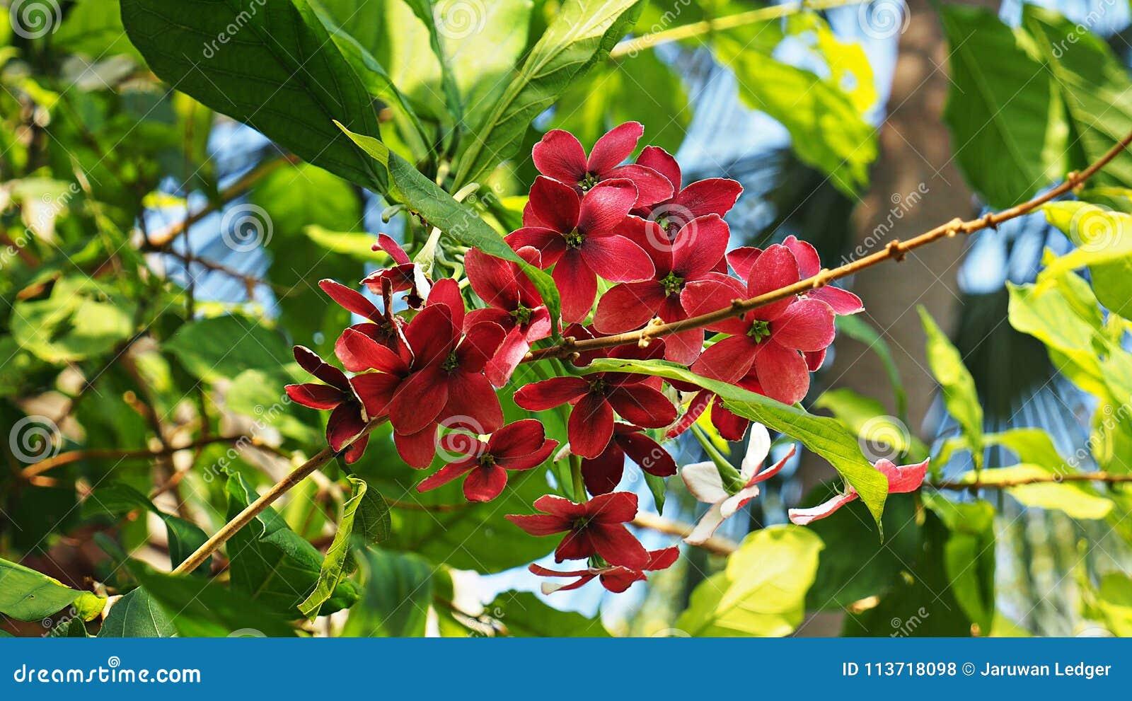Beautiful tropical red flowers in garden stock photo image of download beautiful tropical red flowers in garden stock photo image of branches flowers izmirmasajfo