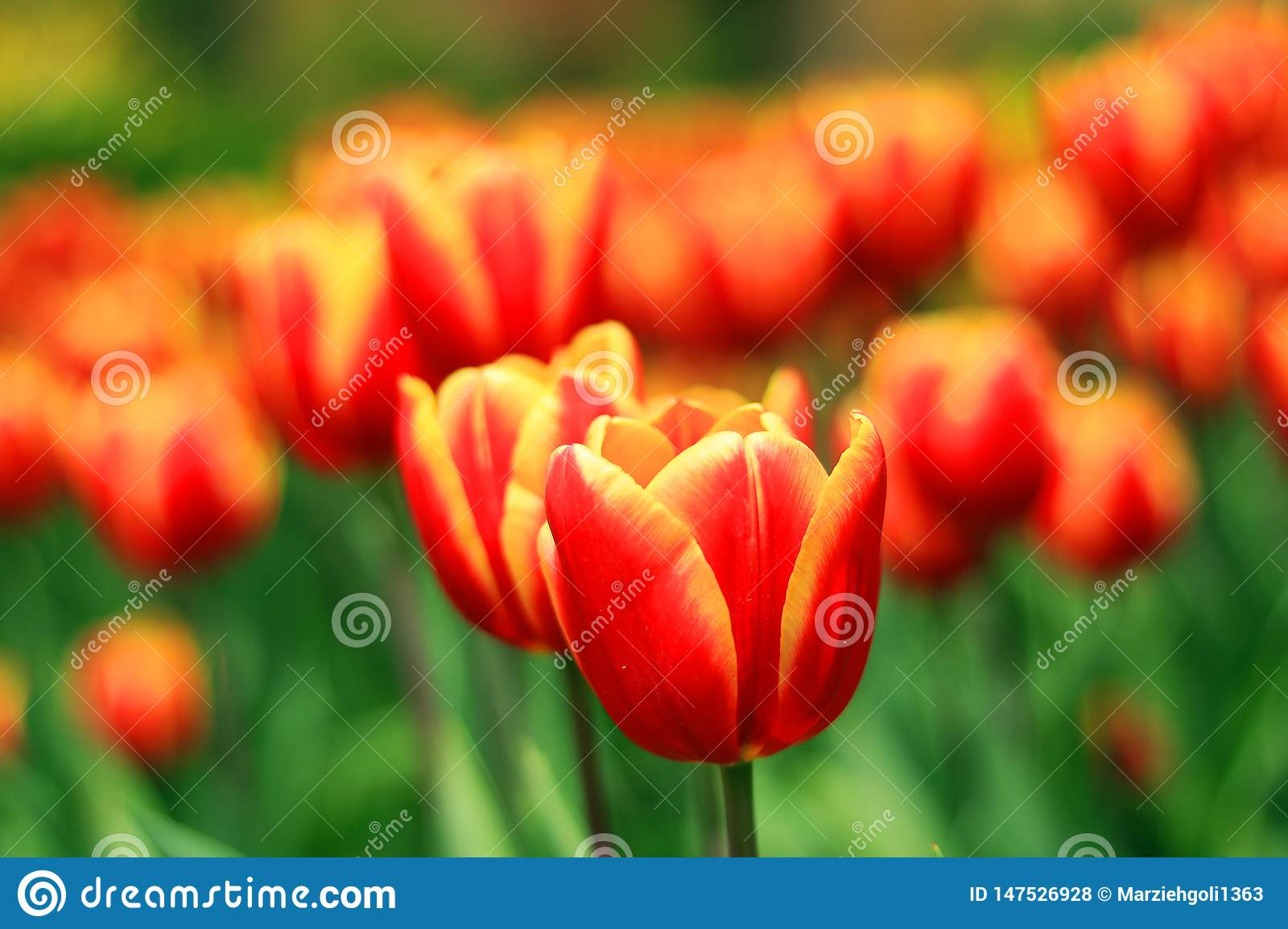 A beautiful Tulip flower in the garden
