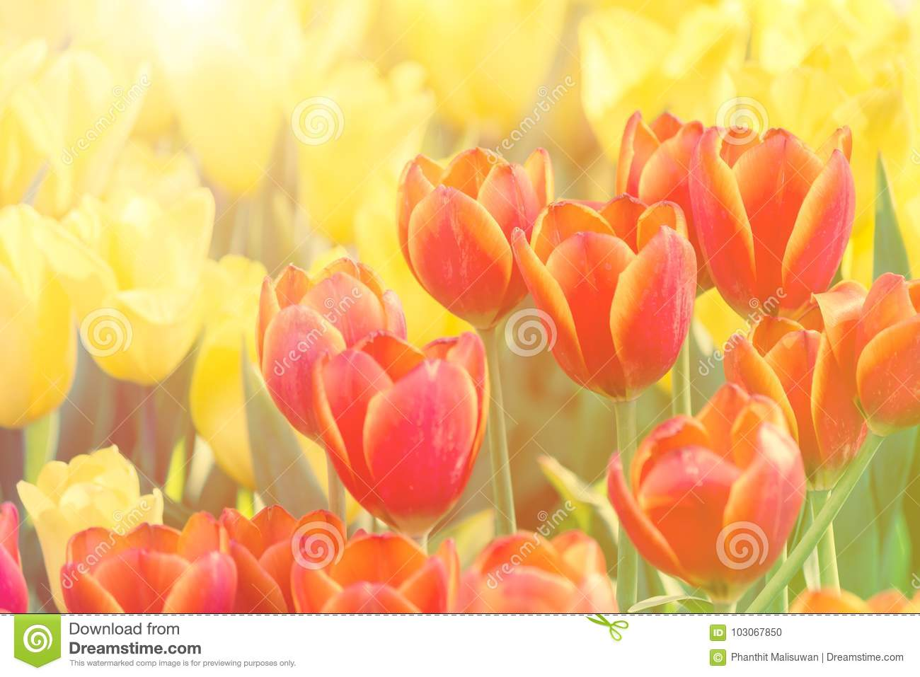 Beautiful tulip flower and green leaf background in the garden at download beautiful tulip flower and green leaf background in the garden at winter or spring day izmirmasajfo