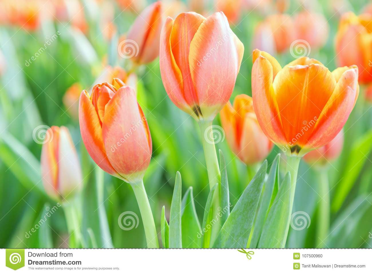 Beautiful tulip flower and green leaf background in tulip garden at beautiful tulip flower green leaf background tulip garden winter spring day beautiful tulip flower green leaf 107500960g izmirmasajfo