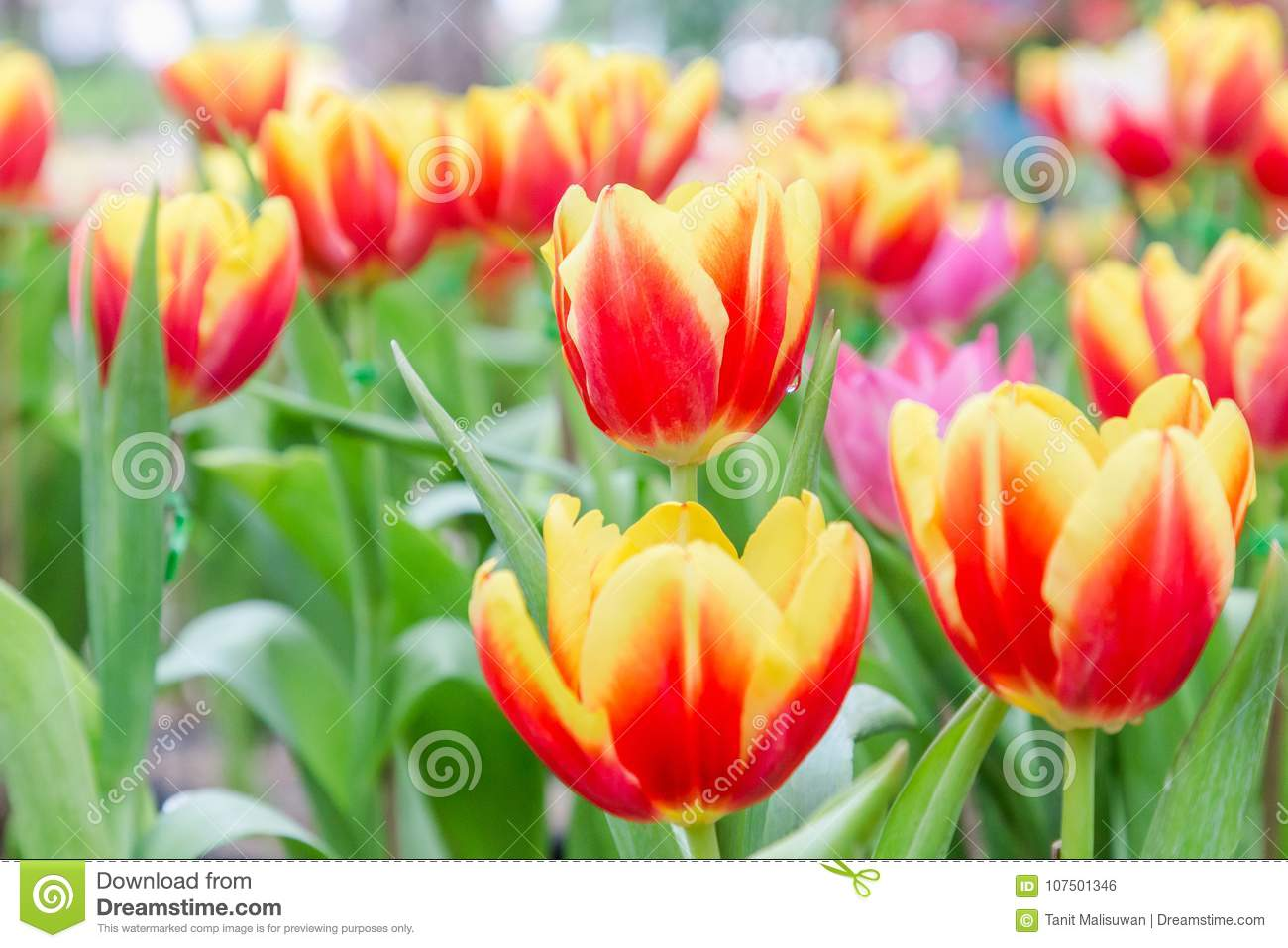 Beautiful tulip flower and green leaf background in tulip garden at beautiful tulip flower green leaf background tulip garden winter spring day beautiful tulip flower green leaf 107501346g izmirmasajfo