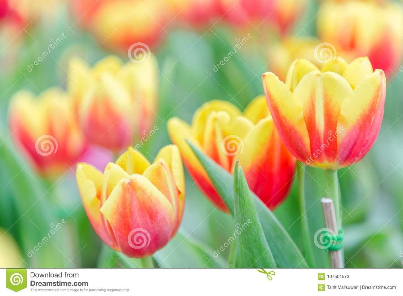 Beautiful tulip flower and green leaf background in tulip garden at download beautiful tulip flower and green leaf background in tulip garden at winter or spring day izmirmasajfo