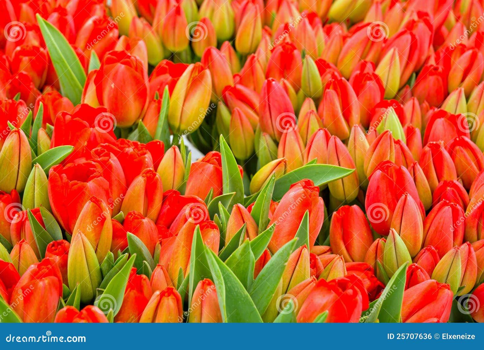 Beautiful tulip flowers stock photo image of flower 25707636 beautiful tulip flowers izmirmasajfo