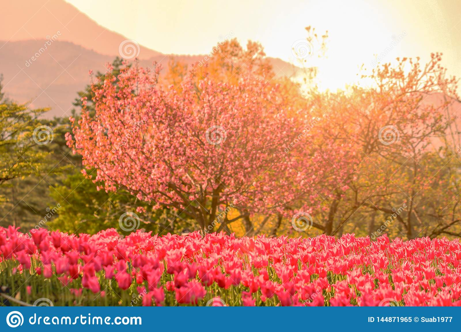 Beautiful tulip , flowers blooming in spring day with sunrise