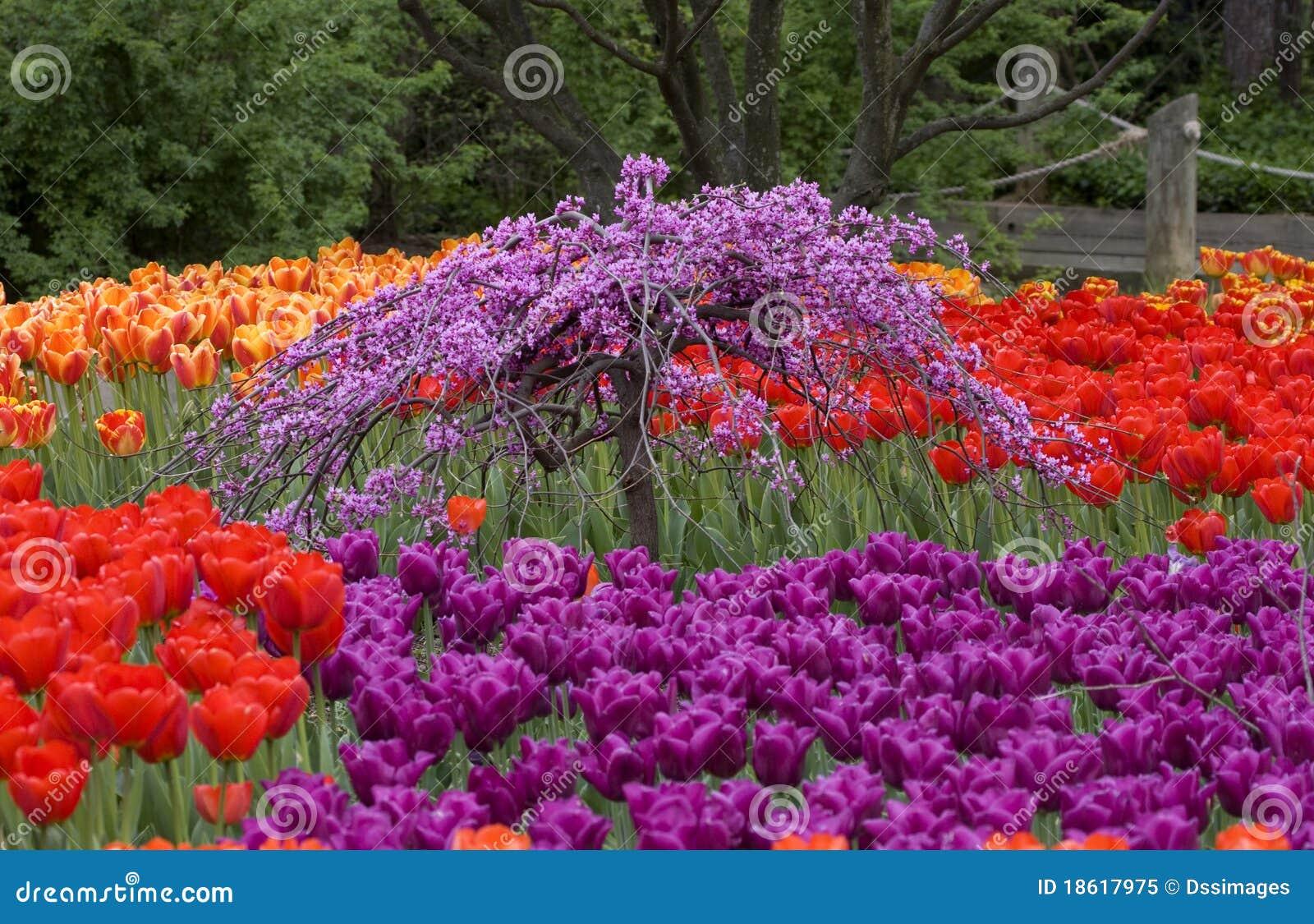 Beautiful Tulip Garden Royalty Free Stock Photo Image