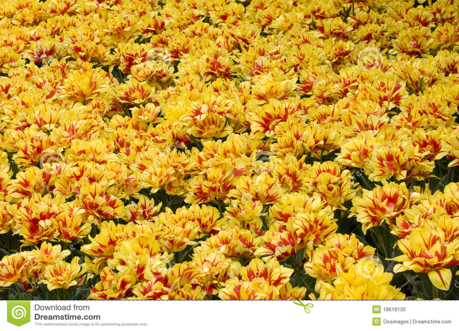 Beautiful Tulip Garden Stock Photo Image 18618130