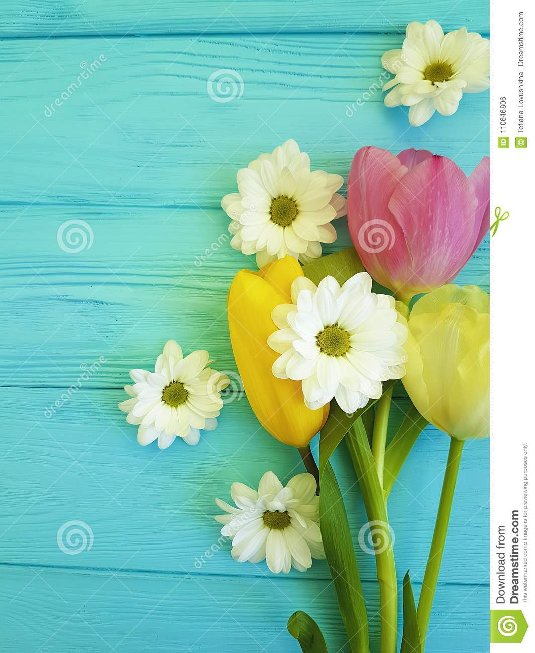 Beautiful tulips of chrysanthemum march bloom celebration season background greeting mothers day , on a blue wooden background
