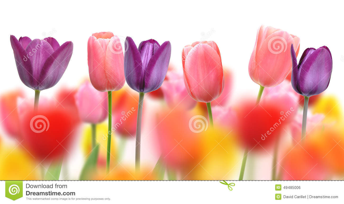 Beautiful Tulips And Color Blurs Created By Selective Focus On One ...