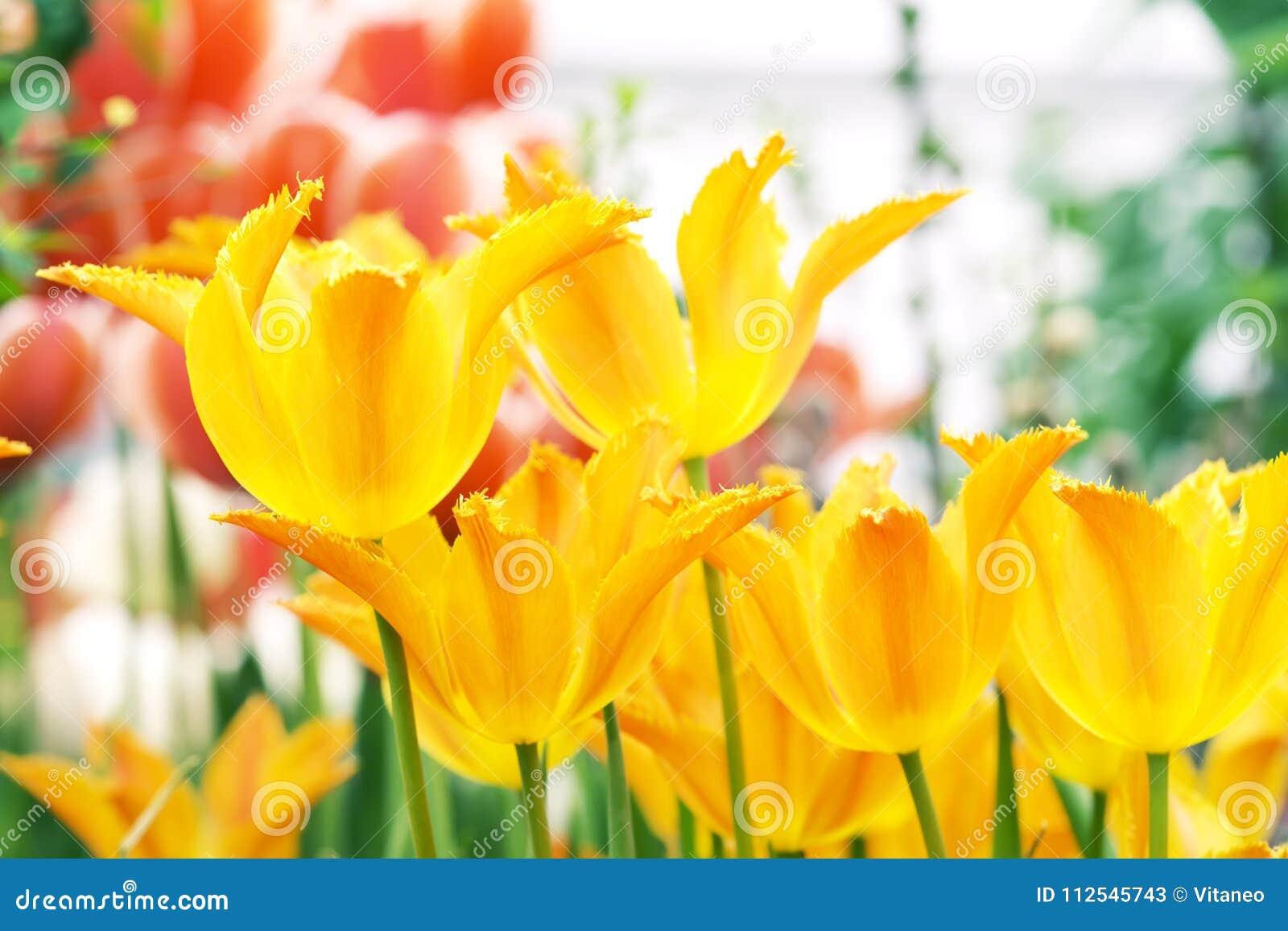 Beautiful Tulips Flowering In The Garden Stock Image Image Of