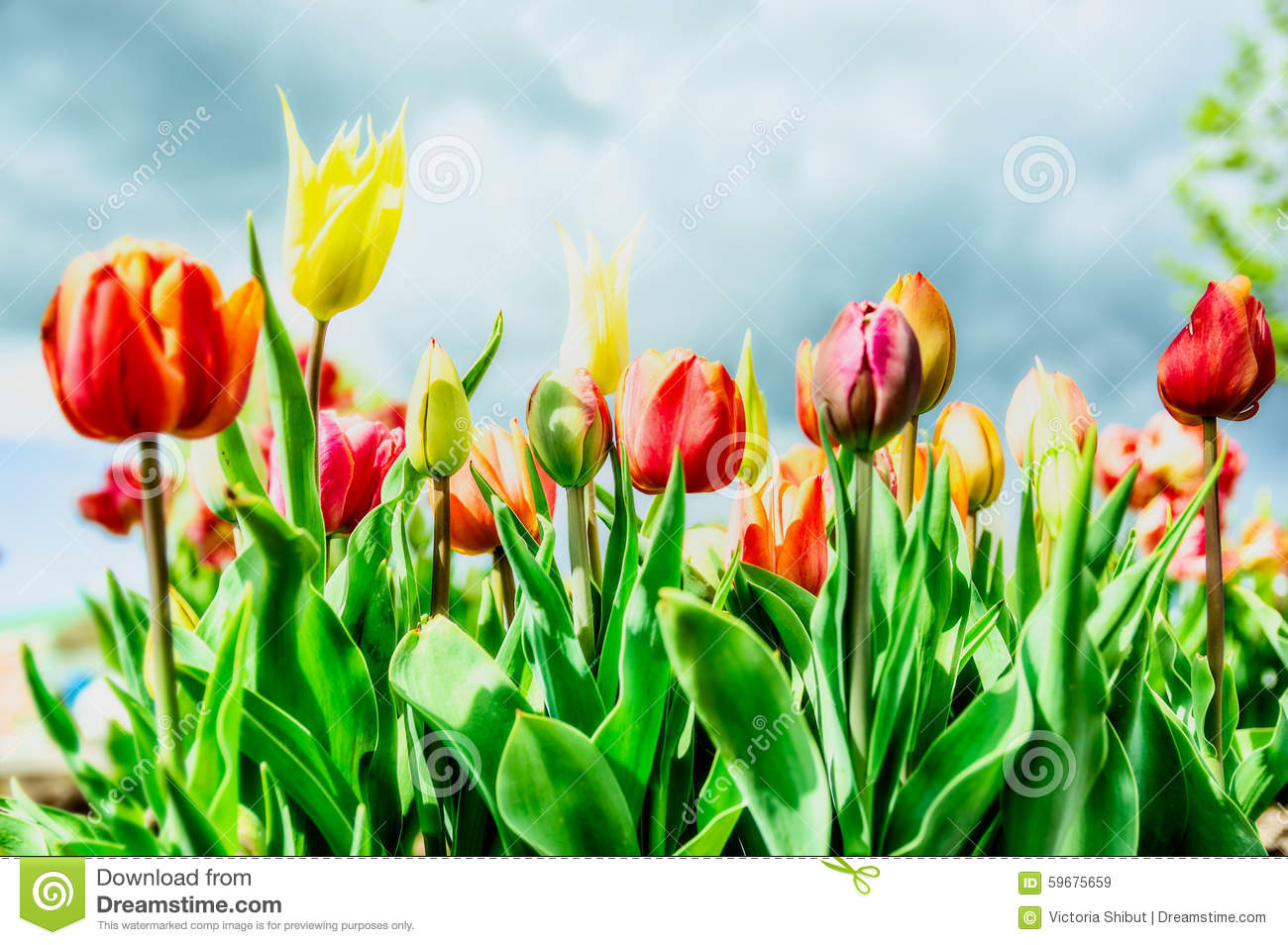 Beautiful Tulips Flowers Bed In Park Or Garden Over Sprig Sky ... for Flower Park Background  155sfw