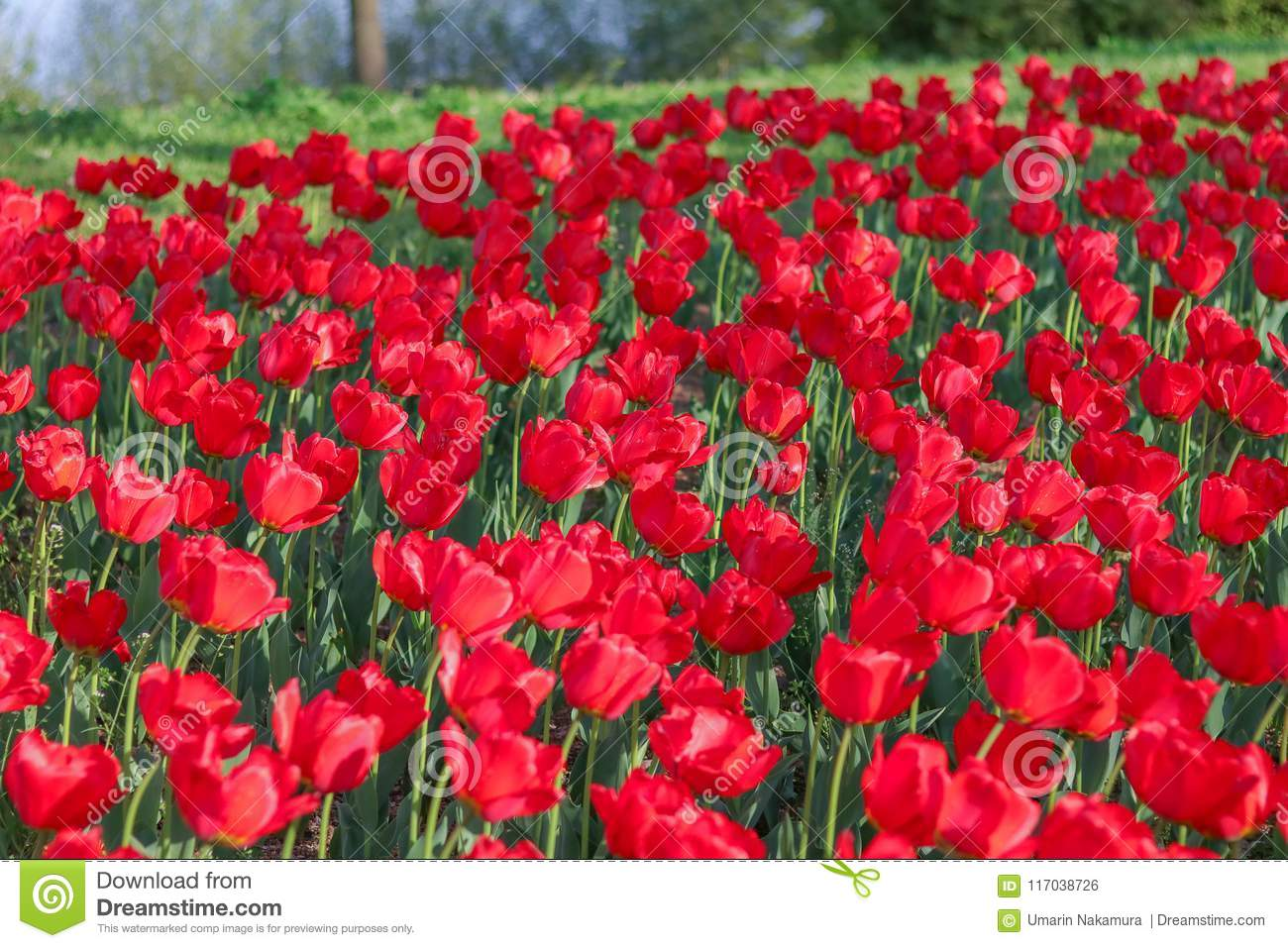Beautiful Tulips Flowers Blooming In Spring Day Stock Photo