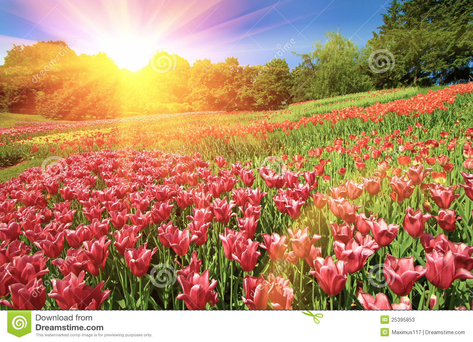 Beautiful tulips flowers field stock image image of horizontal beautiful tulips flowers field in summer day izmirmasajfo