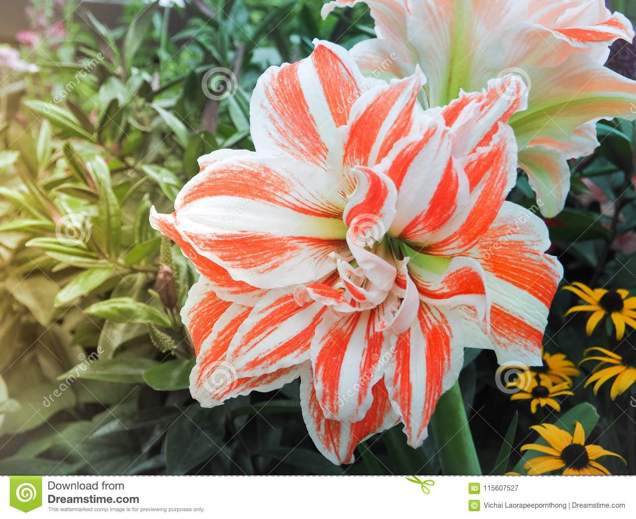 Beautiful Two Tone Color Lilies Flowers Stock Image Image Of Lilly