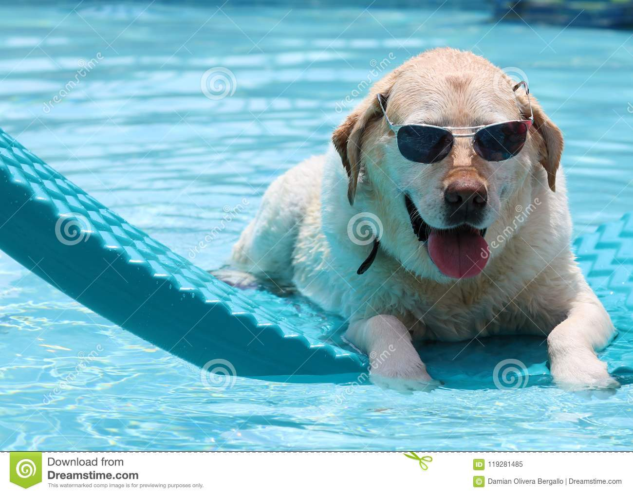 Beautiful unique golden retriever labrador dog relaxing at the pool in a floating bed, dog with glasses super funny.