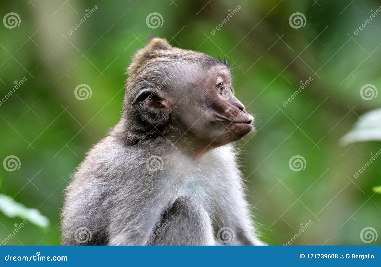 Beautiful unique portrait kiss monkey at monkeys forest in Bali Indonesia, pretty wild animal.