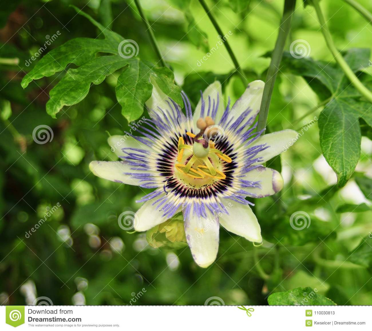 Beautiful And Unusual Passion Flower Stock Image Image Of Plant