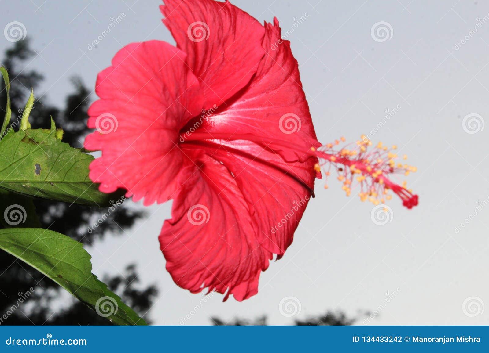 Beautiful Up Close Of Red Hibiscushibiscus Flowerhawaiian Flowers
