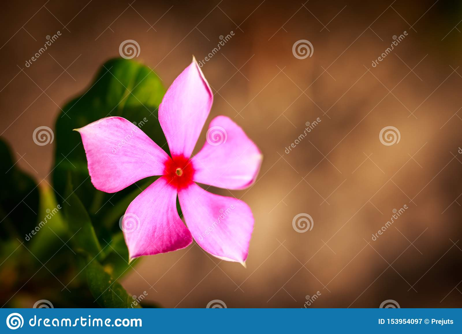 Beautiful Verbena flower in a garden