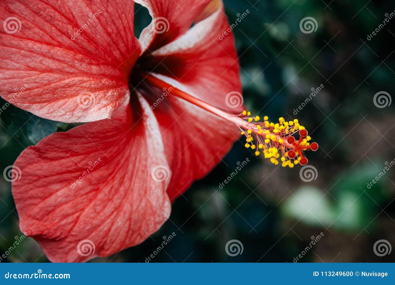 Pink hibiscus flower chinese hibiscus or china rose or hawaiian download pink hibiscus flower chinese hibiscus or china rose or hawaiian stock photo image izmirmasajfo