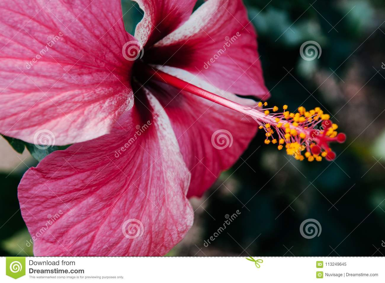 Pink Hibiscus Flower Chinese Hibiscus Or China Rose Or Hawaiian