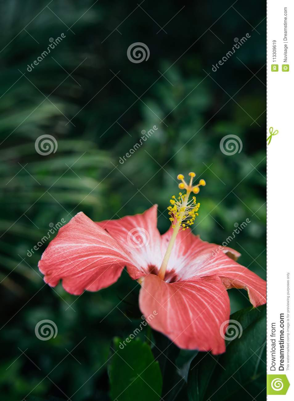 Red Hibiscus Flower Chinese Hibiscus Or China Rose Or Hawaiian